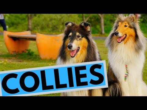 Rough and Smooth Collie - Difference - Temperament - Interesting Facts