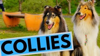 Rough and Smooth Collie  Difference  Temperament  Interesting Facts