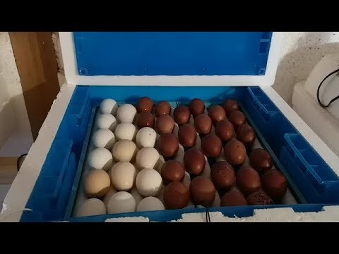 Курятник пополнение Инкубация индюков и кур в зиму мой опыт
