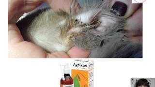 Как и чем правильно чистить уши собаке/коту. Советы ветеринарного дерматолога клиники