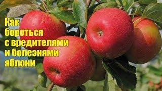 парша яблони и груши: меры борьбы без химии + видео
