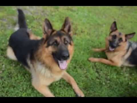 4 Gorgeous Red Black German Shepherds Puppies For Sale Youtube