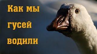 Как мы гусей водили // Разведение гусей