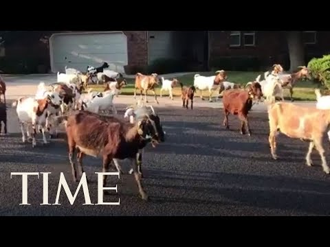 Jimmy Elliott - VIRAL VIDEO: Who Let The Goats Out?