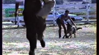 German Shepherd Breeder Tampa - Florida - Zwinger Von Wittenberge - Schutzhund Training