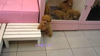 Teacup Toy Poodle Apricot Poodle - Teacup Poodle Toy Poodle Tiny Teacup Poodle Pocket Poodle