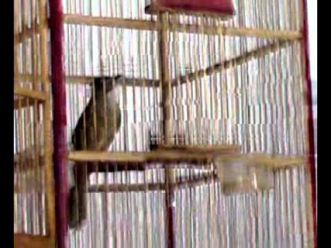 Burung Cucak jeggot medan rasa tengkek VS Jenggot Jawa' ( Bird Song Fight )