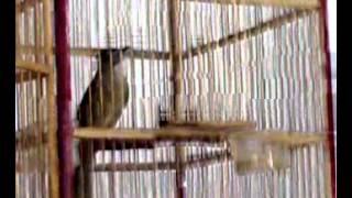 Burung Cucak jeggot medan rasa tengkek VS Jenggot Jawa