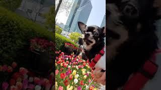 치와와 강아지  튤립 꽃구경~♡