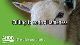 Culling to control lameness - Sheep Lameness series