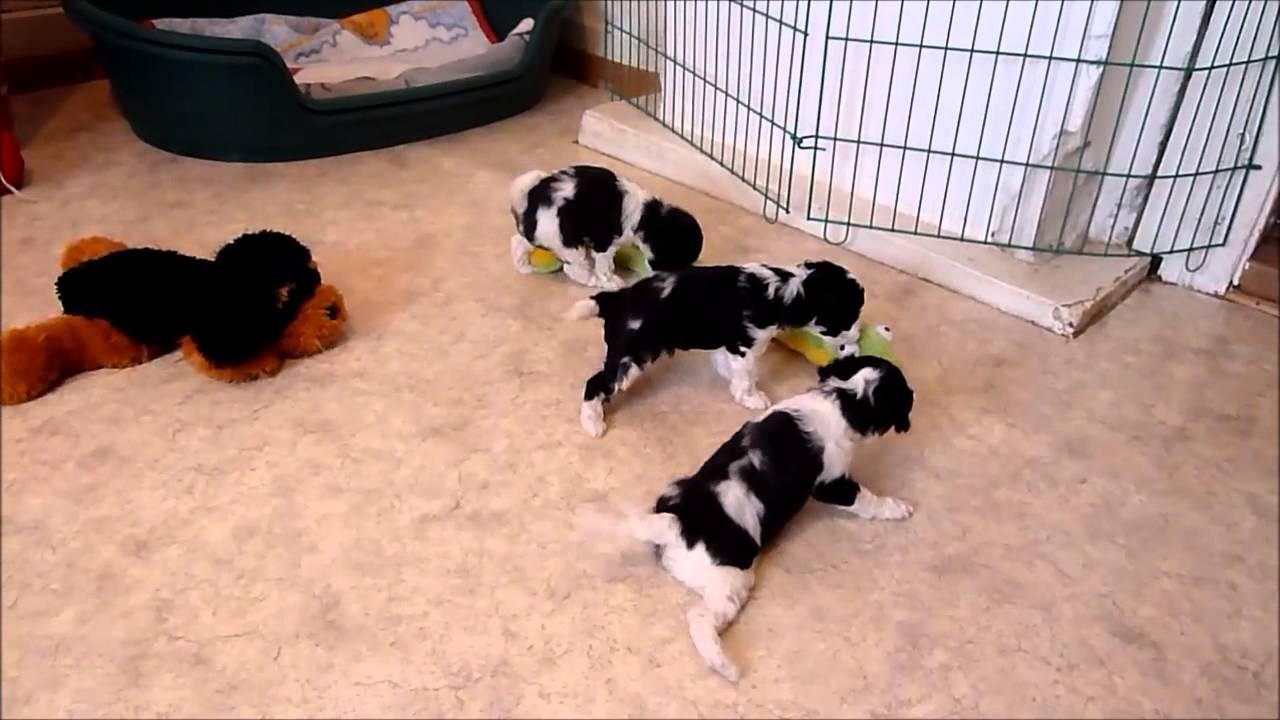 Harlekin-Pudel von Klein-Dandy, L-Wurf, 5 Wochen alt - YouTube