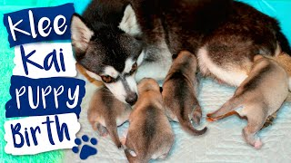 Alaskan Klee Kai Dog Giving Birth To Puppies!