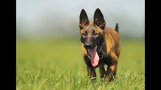 Belgian Malinois History And Information