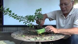 Bonsai Tutorials for Beginners: How to Restore an Overgrown Shohin Bougie