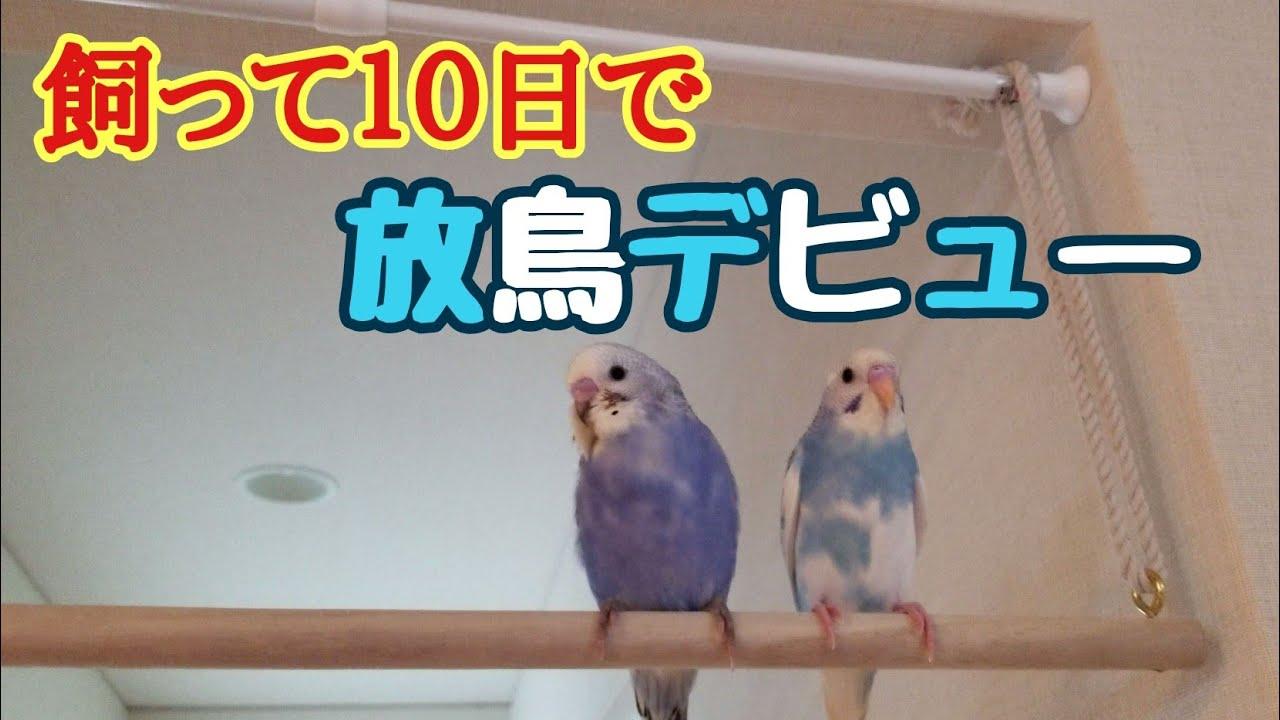 インコ 放鳥