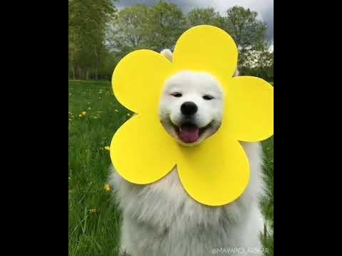 Cute Samoyed dogs compilation (2019)|Cute dogs!