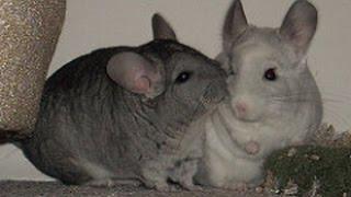 Chinchilla kiss. Cute little animals. Chinchilla dust bath funny.