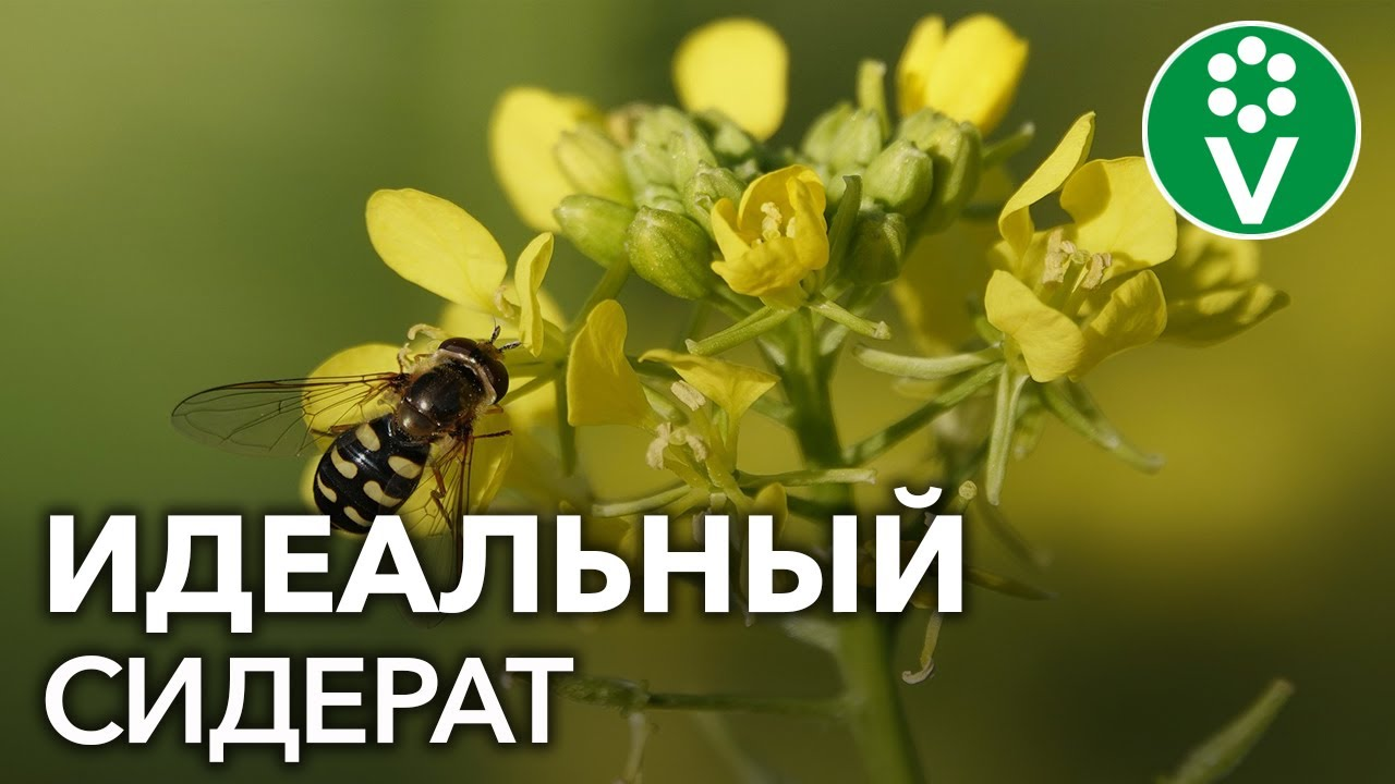 ЗОЛОТАЯ ТРАВА: избавит от нематоды и повысит плодородие!
