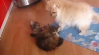 дружба котят со шпицем