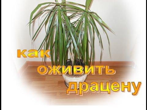 Как реанимировать драцену в домашних условиях