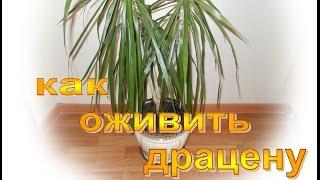 Драцена -  уход в домашних условиях / как оживить драцену