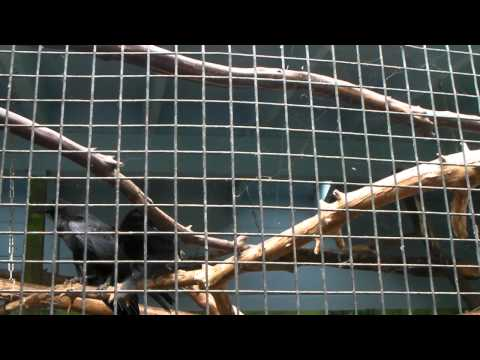 Ravens at Sequoia Park Zoo, Eureka CA