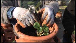 Planting Strawberry Pots
