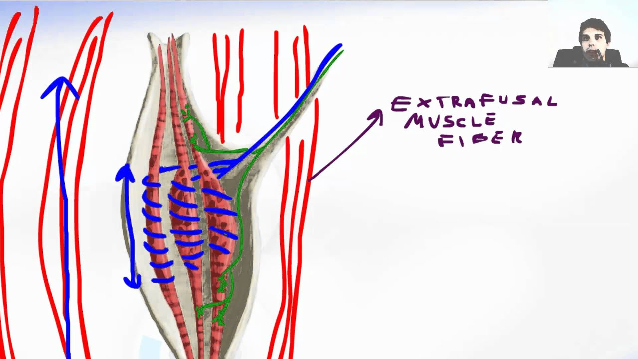 Muscle Receptor Spindle - YouTube