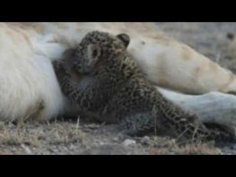 'Truly unique' mother lioness nurses leopard cub in Tanzania