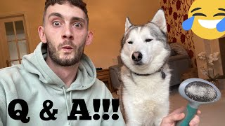 Brushing My Husky Live! [ASK US ANYTHING!]