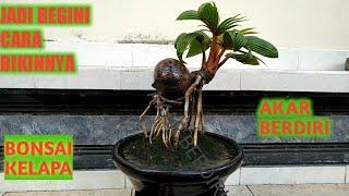 BONSAI KELAPA Cara bikin bonsai kelapa akar berdiri