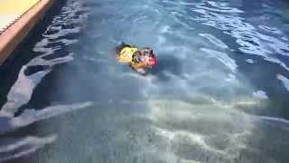 Miniature Schnauzer Has His First Swim Several Months After Knee Surgery