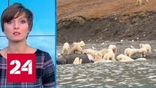 Туристы обнаружили 230 белых медведей, поедающих кита - Россия 24