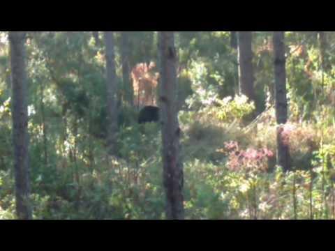 Bear sighting while deer hunting