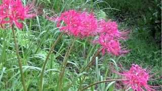 種子島の野道に咲く花のヒガンバナを撮影したものです。ヒガンバナ、シ...