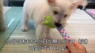おもちゃで一緒に遊ぶのが大好きウェスティ―ちゃん♡詳細はコチラから⇒ht...