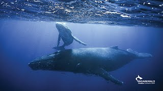 Baixar In the Water with Gentle, Playful Humpback Whales