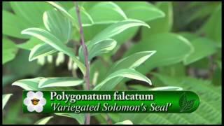 Plant Pick - Variegated Solomon