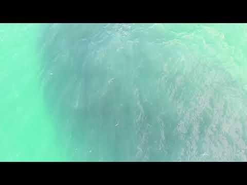 Several Sharks Have a Feeding Frenzy at Waimea Bay