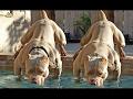 DOG BREED The 10 + Bully Breed Dogs [Mr Fahey]