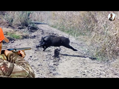 top 5 tirs au Sanglier , Best of Wild Boar Hunting