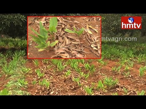 ఆకులతో కలుపు నివారణ మరియు నీటి నిల్వలు పెంచుకోవటం | hmtv Agri