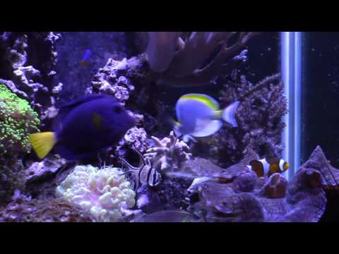 Powder Blue Tang Update And CA Reactor Problems (Reef Vlog)