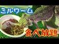 ミルワーム食べ放題【フトアゴヒゲトカゲ】 の動画、YouTube動画。