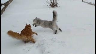#18 Мейн куны и сибирячка: зимние прогулки