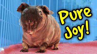 The Joy of Guinea Pig Bonding | Skinny Pig Monty at The Los Angeles Guinea Pig Rescue |