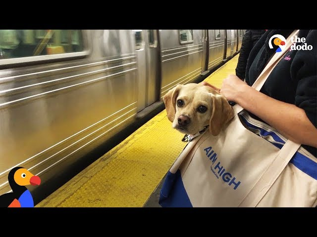 NYC Subway Dogs Brighten People's Days | The Dodo
