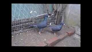 Голуби немецкие выставочные. Pigeons German exhibition.