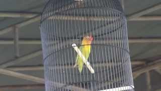 SUARA BURUNG ; Love Bird kusumo di luar dan di dalam arena, semua mata tertuju padanya.