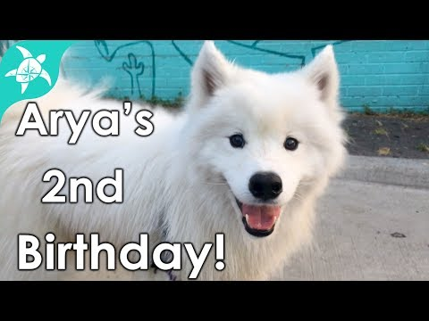 Adorable Samoyed spoiled for her 2nd Birthday!!